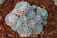 Blue Rose Echeveria. We love all echeveria, but this is especially lovely. I think they also grow this on Alcatraz.