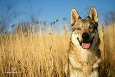 Czechoslovakian wolfdog - Angas z Vlčej hory. Babie leto s Vlkom, aj keď iba počas jedného poobedia,ma naplnilo radosťou  #wolfdog #czechoslovakianwolfdog #photography #beautifullife #beautifulday #bigsmile #bluesky #autumn