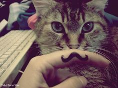 cat with moustache. Moustache Swag, Mustache Cat, Moustaches, I Am Blue, Image Chat, Baby Cats, Baby Kitty, Art Studies, I Love Cats