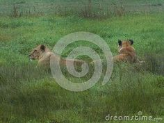 Photo about A view of a pair of Lions lying down in a rain shower. Image of grasses, predator, veld - 146558375 Elephant Images, Rain Shower, African Animals, Grasses, Zebras, Predator, Free Stock Photos, Lions, Giraffe
