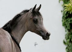 DHS TAHRIR (Saif x BT Farid Nile Moon) 2011 grey SE mare bred by Dowdstown House Stud, Ireland