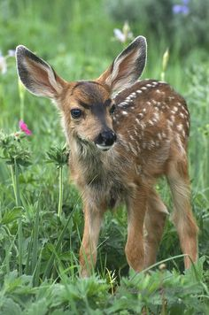 "raindropsonroses-65: ""Mule Deer (Odocoileus hemionus) fawn in Montana. 