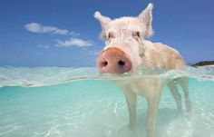 Swimming with Pigs in the Bahamas? You must do this! @Courtney Scott