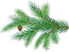 Pine branch Stock Vector