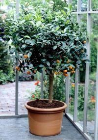Los cítricos cultivados en maceta también deben podarse tanto por motivos estéticos como productivos. Debemos mantener una forma más o menos redondeada de su copa para que resulten más decorativos …