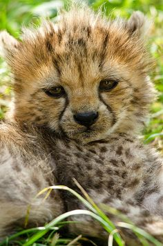 Sleepy cheetah cub