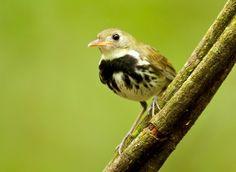Aves brasileiras:Estalador (Corythopis delalandi), Abertura F4, Velocidade 1/60, Distância Focal 500 mm. Foto Hugo Viana.