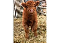 Scottish Highland calf, Awee, i am going to put this next to my chicken coop :)