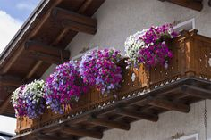 classical model balcony full of violet flowers