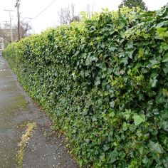 english ivy on chain link fence | , green ivy is completely covering a standard chain link metal fence ...