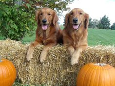 Honey and Autumn, the Golden Retriever Sisters