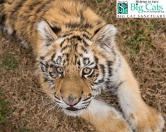 Merry Christmas from Gabby, Kia, Sara, Hobbes, Jazz, Laney, Maggie and all of us at Suzie's Pride Big Cat Sanctuary!!
