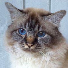 It's #bluemonday and here are birman eyes of blue.  This handsome sealtabby is called Bobo.  Owner: Marina Wahlström  #birmans #birman #sacredbirman #heligbirma #birmania #birmanie #pyhäbirma #instabirmans #birmansofinstagram #blueeyes #whitecats #fluffycats #instacats #catsofinstagram #cats #kittens #instakittens #kittensofinstagram #lovecats #birmavanner #tabbycats #toocute #beautifulcats #excellentcats #tortiecats #cutepetclub #sealtabby #bruntabby