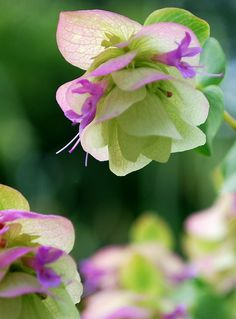 Ornamental Oregano 8 by firefly64, via Flickr