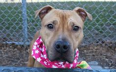 "SAFE❤️❤️ 3/16/17 BY REBOUND HOUNDS❤️ PLEASE TAKE WONDERFUL CARE OF HER❤️ /ij 3/16/17 ANOTHER GEORGEOUS PRINCESS LISTED TO BE MURDERED TODAY DUE BEING ""SICK"" PLEASE HELP THIS BABY OUT OF THAT HELL! /ij Manhattan Center FRITATA – A1105449 **SAFER: EXPERIENCED HOME** SPAYED FEMALE, BROWN, PIT BULL MIX, 2 yrs STRAY – STRAY WAIT, NO HOLD Reason STRAY Intake condition INJ MINOR Intake Date 03/06/2017, From NY 11234, DueOut Date 03/09/2017,"