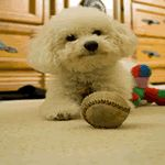 A small fluffy dog breeds list including 29 fluffy small dogs. Small Fluffy Dog Breeds, Fluffy Dogs, Bichon Bolognese, Poodle, White Fluffy Dog, Cute Puppies, Dogs And Puppies, Bichon Dog, Baby Animals