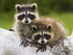 Racoon Pictures Of Cute Animals - HD Wallpapers Pretty - vaskebjørn Baby Raccoon, Cute Raccoon, Racoon, Raccoon Animal, Tier Wallpaper, Animal Wallpaper, Wallpaper Desktop, Desktop Backgrounds, Hd Desktop
