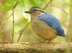 Giant Pitta..like this little fellow...amazing God made so many beautiful birds....