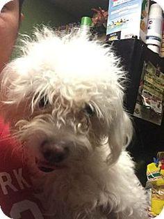 Thousand Oaks, CA - Maltese/Poodle (Miniature) Mix. Meet Lilah, a dog for adoption. http://www.adoptapet.com/pet/14824314-thousand-oaks-california-maltese-mix