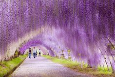 3.-Wisteria-Flower-Tunnel-in-Japan-20-Magical-Tree-Tunnels-You-Should-Definitely-Take-A-Walk-Through.jpg (880×587)