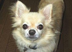 我が家のチワワのリョウです   クリームの男の子8歳です    #ちわわ #チワワ #動物 #犬      投稿者のアメブロ http://ameblo.jp/rudorufu77/   投稿者のfacebook  https://www.facebook.com/yasuko.takahashi.969