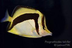 Prognathodes falcifer