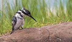 pied kingfisher .. by MargittaThomann http://ift.tt/1TiSw8M