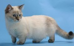21 Munchkin Kittens That Prove Size Doesn't Matter