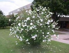 Existing  hibiscus syriacus diana - Google Search
