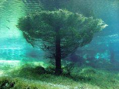 Árvore submersa no Lago Verde, Áustria