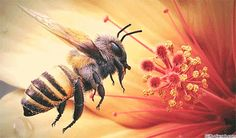 """The bee is a symbol of wisdom, for as this tiny insect collects pollen from the flowers, so men may extract wisdom from the experiences of daily life. The bee is sacred to the goddess Venus and, according to mystics, it is one of several forms of life which came to the earth from the planet Venus millions of years ago.""  - Manly P. Hall"