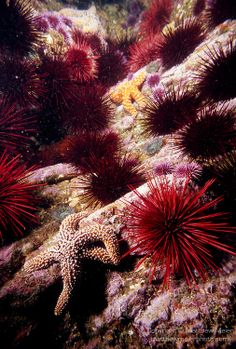Red Sea Urchins | Matthew Meier Photo - Red sea urchins are a favorite food item for sea otters.