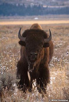 buffalo,Bison JACKSON HOLE WHYOMING