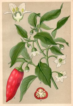 Capsicum annuum - Antique botanical lithograph issued in 1901, beautifully detailed, brilliantly colored. Condition: very good; blank on the reverse. Type/Technique: Original, Book Plate, Chromolithograph. Paper size: Inches: approx 8.5 x 5.3 (21.8 x 13.5 cm). Issued in 1901 by Breitkopf & Härtel in Leipzig, Germany. Please look at the pictures carefully, read the description of each item and examine the pictures with zoom. I do the best I can to add clear and accurate scans or...