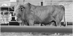 Name: Bodacious Contractor: Sammy Andrews Breed: Charbray Weight: 1,850 lb. Born: 1989 Sire: Dam: Avergae Score: Awards: -1995 PBR Bull of the Year -NFR Champion -Dodge National Circuit Champion  Other: -deceased -Bucked 135 times ridden only 7 -NFR appearances from 1992 to 1995