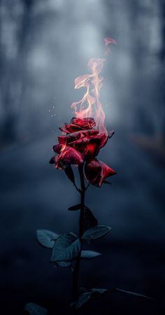 wallpaper rose Rose on fire Rose on fire Flower Phone Wallpaper, Rose Wallpaper, Cute Wallpaper Backgrounds, Pretty Wallpapers, Aesthetic Iphone Wallpaper, Photo Backgrounds, Aesthetic Wallpapers, Wallpaper Samsung, Iphone Wallpapers