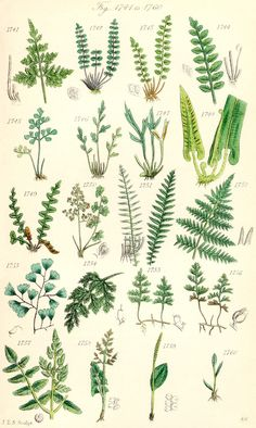 Maidenhair Fern Illustration To view the illustrations