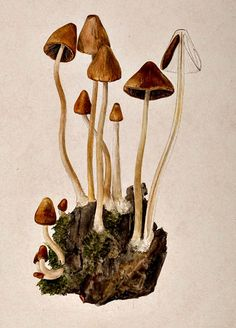 Many people know Beatrix Potter as the author of children's books such as The Tale of Peter Rabbit. But Beatrix Potter only began writing seriously in her and before this pursued an interest in the natural sciences. Mushroom Drawing, Mushroom Art, Botanical Drawings, Botanical Prints, Beatrix Potter Illustrations, Nature Illustrations, Mushroom Tattoos, Arte Floral, Jolie Photo