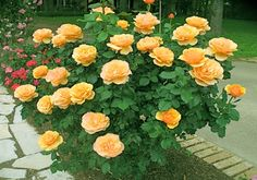 The grandiflora is a modern rose and related to the hybrid tea rose, because the hybrid tea was crossed with a floribunda to create the grandiflora class in 1954. From rose-gardening-made-easy.com