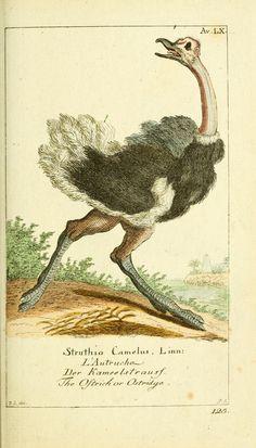 Ostrich by Georg Heinrich von Borowski (1746-1801) my 5th Great-Grandfather.
