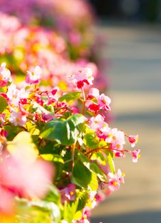 Best Practices for Begonia Care