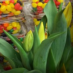 April 4, 2015 {94/365} Tulips and Jelly Beans (C'est ma vie!: Sweet)