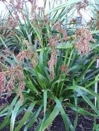 Pepepe, Machaerina sinclarii is a sedge like plant with drooping flat bright green leaves, forming a clump. Plants That Like Shade, Tiny White Flowers, Bright Green, Native Plants, Green Leaves, Garden Plants, New Zealand, Nativity, Berries
