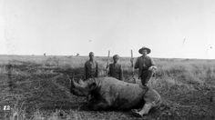 Circa 1895: A hunter with his foot on a dead rhino in a big game hunt in east Africa.