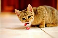 Photo Assignment Time 4 A BubblesBurger®! Cute Cats Photos, Cute Animal Pictures, Pet Shop, Animals Beautiful, Cute Animals, Cat Info, Cat Food, My Animal, Cat Breeds