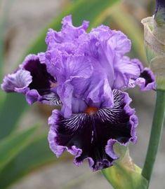 Photo of the bloom of Tall Bearded Iris (Iris 'By Jeeves') Unusual Flowers, Rare Flowers, Iris Flowers, Amazing Flowers, Vintage Flowers, Planting Flowers, Beautiful Flowers, Flowers Garden, Purple Flowers