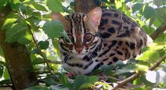 The ancestry of the Bengal cat derives from a spotted domestic cat and a small wild spotted feline called the Asian leopard cat (ALC) or Felis bengalensis. Leopard Kitten, Asian Leopard Cat, Pet Websites, Big House Cats, Teacup Cats, Small Wild Cats, Cat Plants, What Cat, Exotic Cats