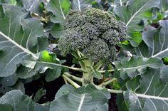 Six Tips for Growing Broccoli - Open Permaculture - Permaculture Design Course Broccoli Plant, Growing Broccoli, Broccoli Bake, Growing Veggies, Vegetable Garden For Beginners, Gardening For Beginners, Gardening Tips, Home Grown Vegetables, Weed
