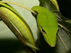 Long-Nosed Whip Snake