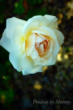 White Gruss an Aachen I would LOVE to find this rose to grow White Flowers, Beautiful Flowers, Enjoying The Small Things, Roses Garden, Love Rose, Landscaping Plants, Garden Paths, Mother Earth, Garden Inspiration